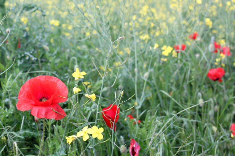 Poppy_oil_seed_rape